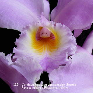 "Cattleya mossiae concolor ""Josefa""  do blogdabeteorquideas"