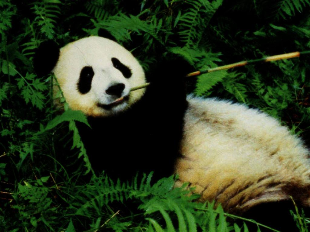 http://4.bp.blogspot.com/-0n2zqH-uxNI/Tx1quavqm0I/AAAAAAAAATE/6WUP7EW__uo/s1600/urso-panda-cf23d.jpg