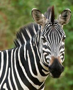 Zebra - Kenya Trip