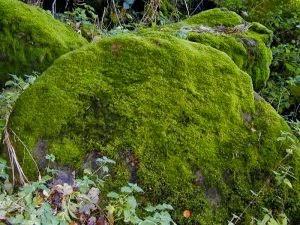 Ciri ciri Tumbuhan Lumut (bryophyta)