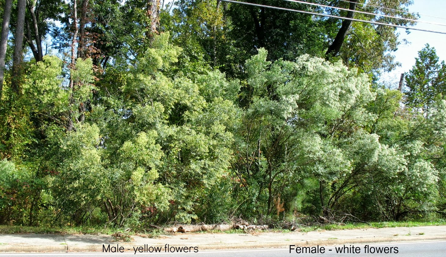 using georgia native plants  tree with two flowers