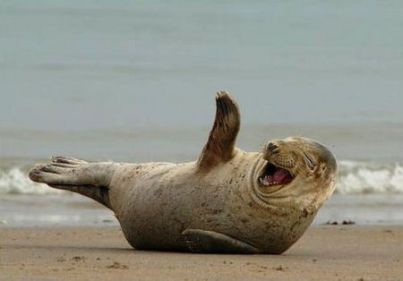 Funny Laughing Seal