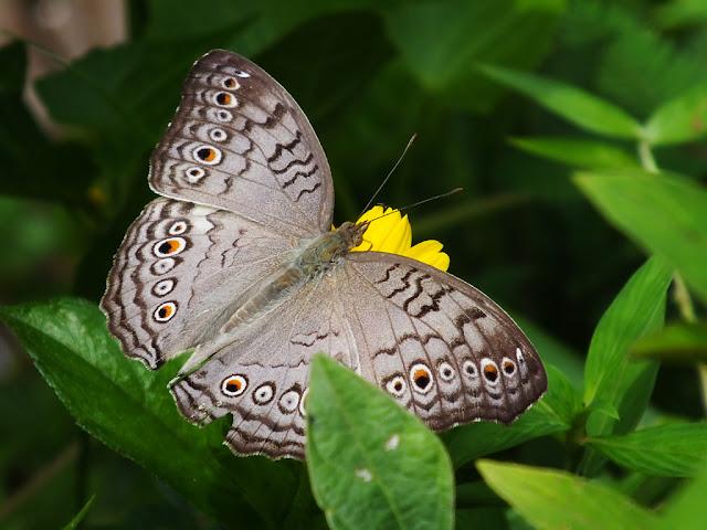 Butterfly Abu Abu  Dengan