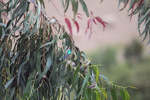 A un unusual bird flock in African Eucalyptus forests