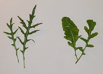 wild and salad rocket leaves side by side