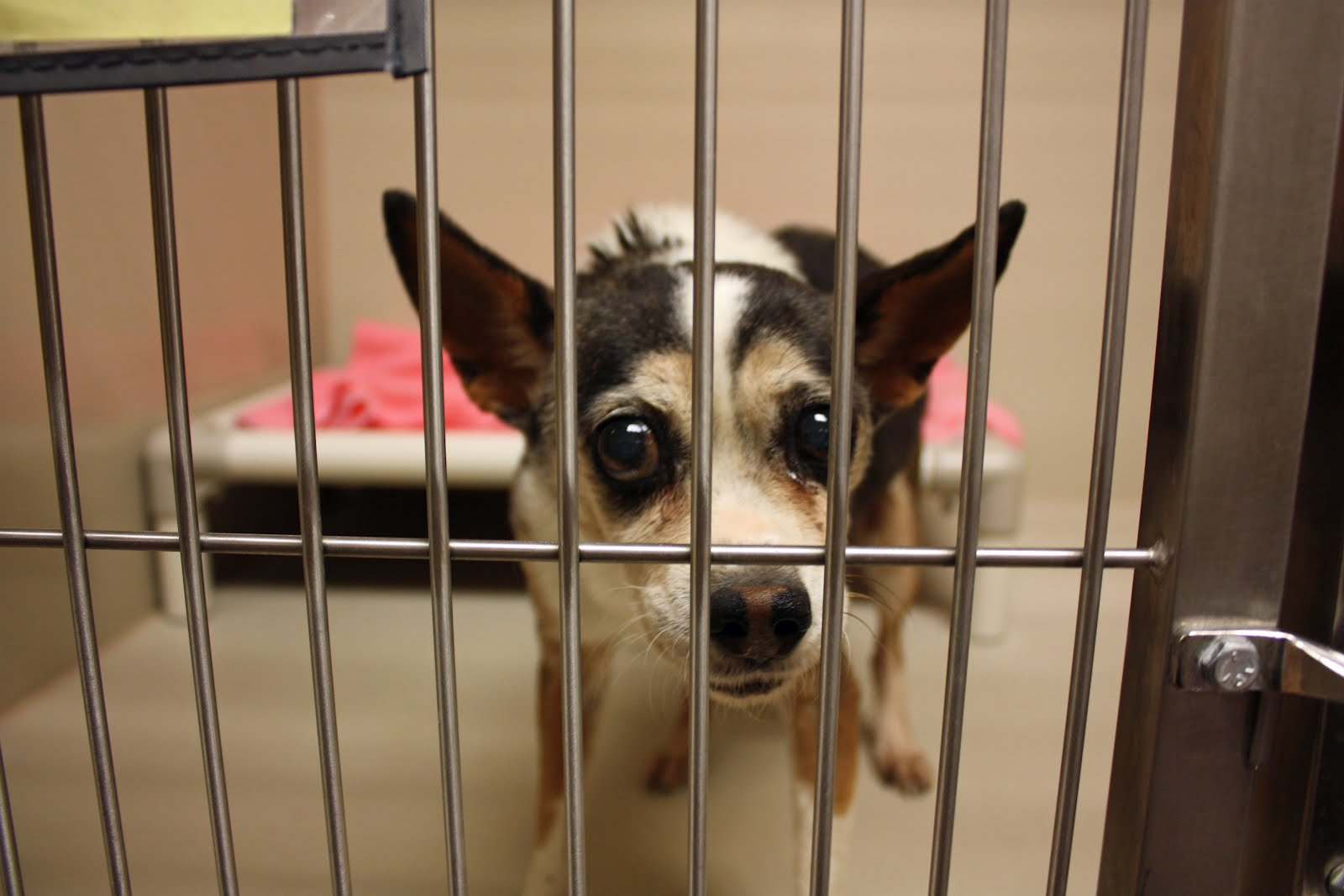 Images Of Adopt A Queensland Heeler Find Dogs For Adoption   Dog ...