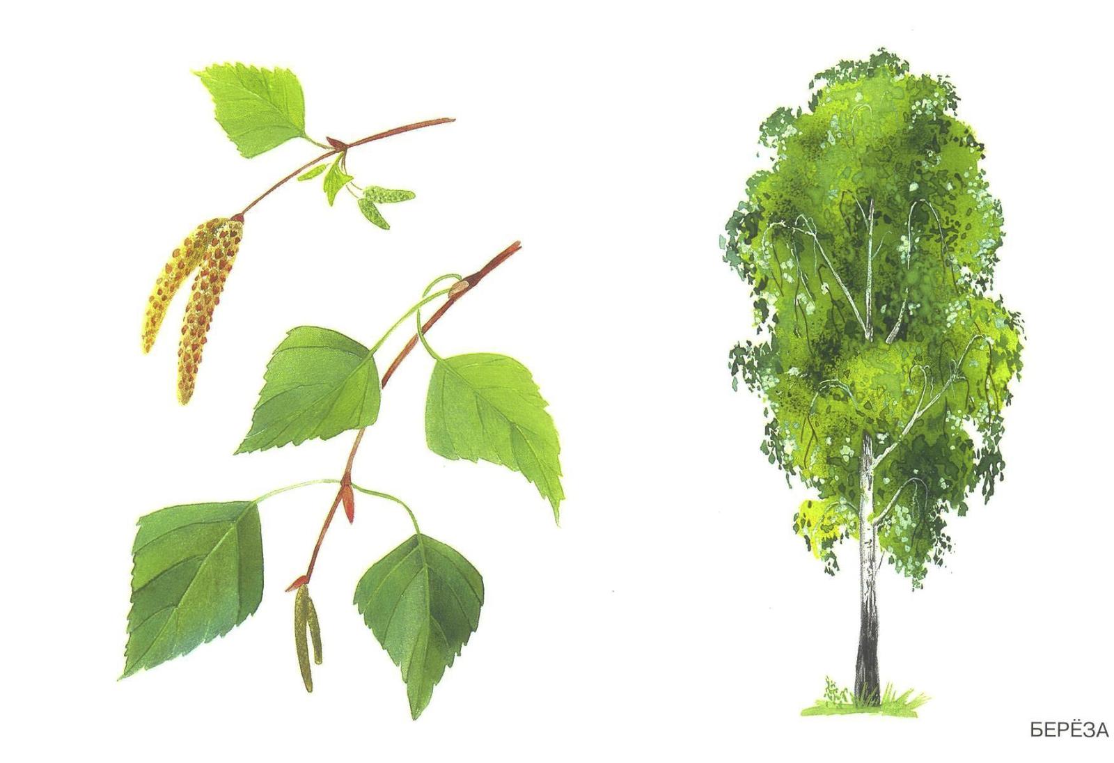 листья сосна фото