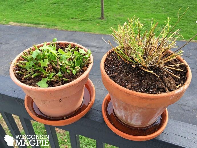 repotting plants