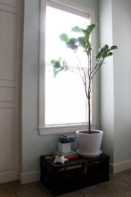 Fiddle Leaf Fig Tree, Modern Plant, Indoor Plants
