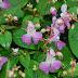 Hạt Giống Hoa Phượng tiên - Balsam Impatiens IMP00017