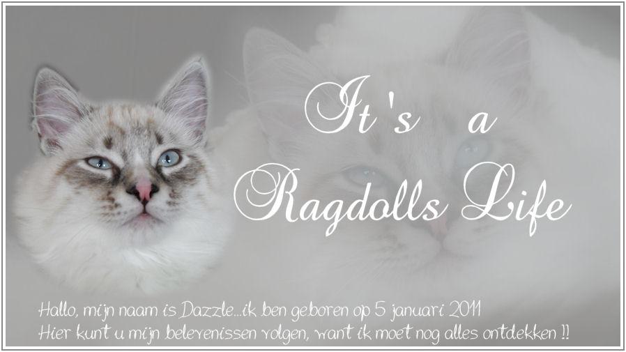 It's a Ragdolls life