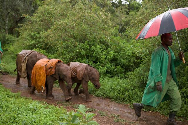 Молодые слонята побоялись переходить разлившийся ручей вброд