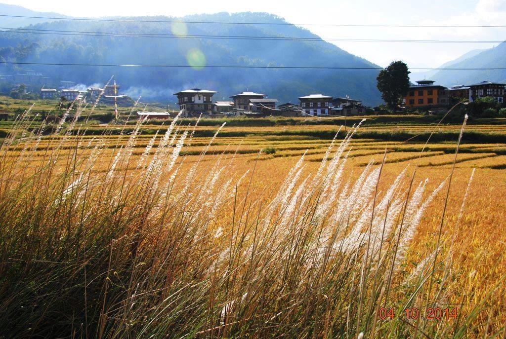 wheat fields, Punakha