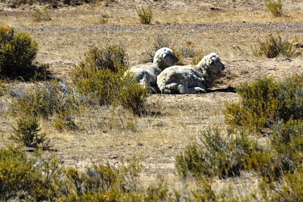 Peninsula Valdes sheep