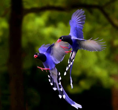 Taiwan Blue Magpies