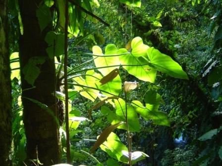 Au coeur de la forêt tropicale, Parc National de Guadeloupe