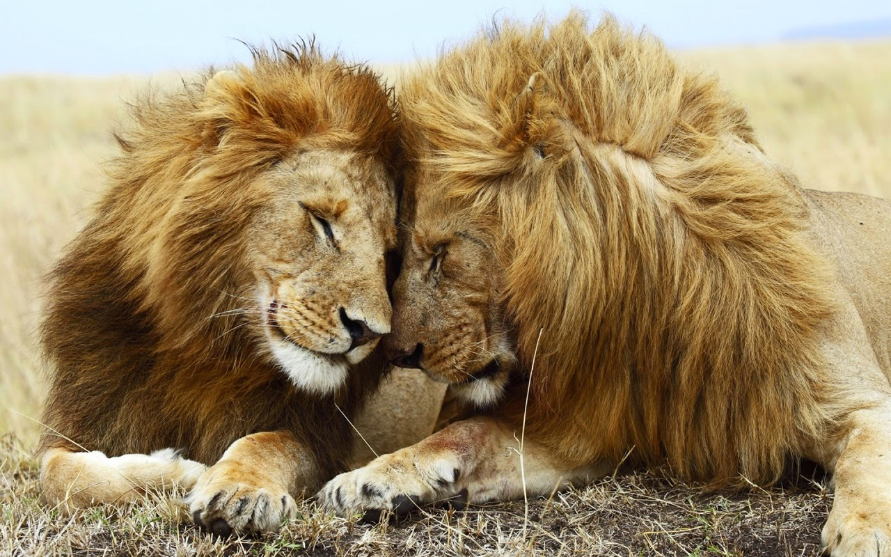 Download Wallpaper High Resolution Animal - lions_pair  Pictures_91981.jpg