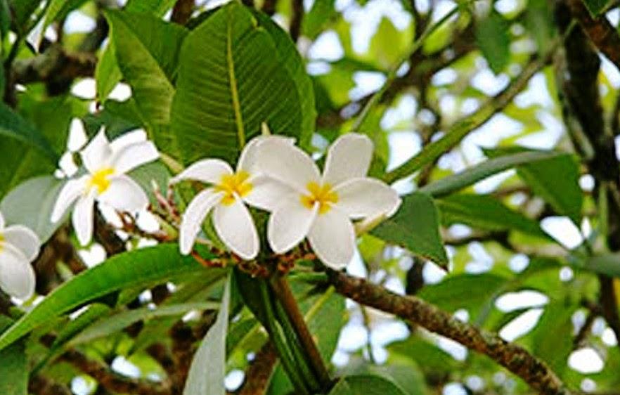 Manfaat Daun Kamboja Untuk Obat Tradisional