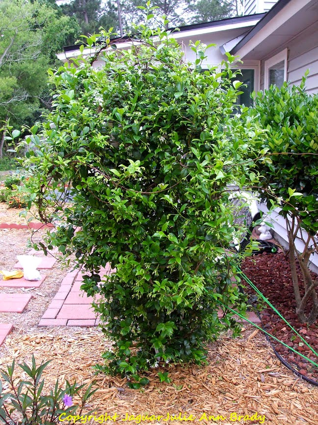 Confederate Star Jasmine April 2014