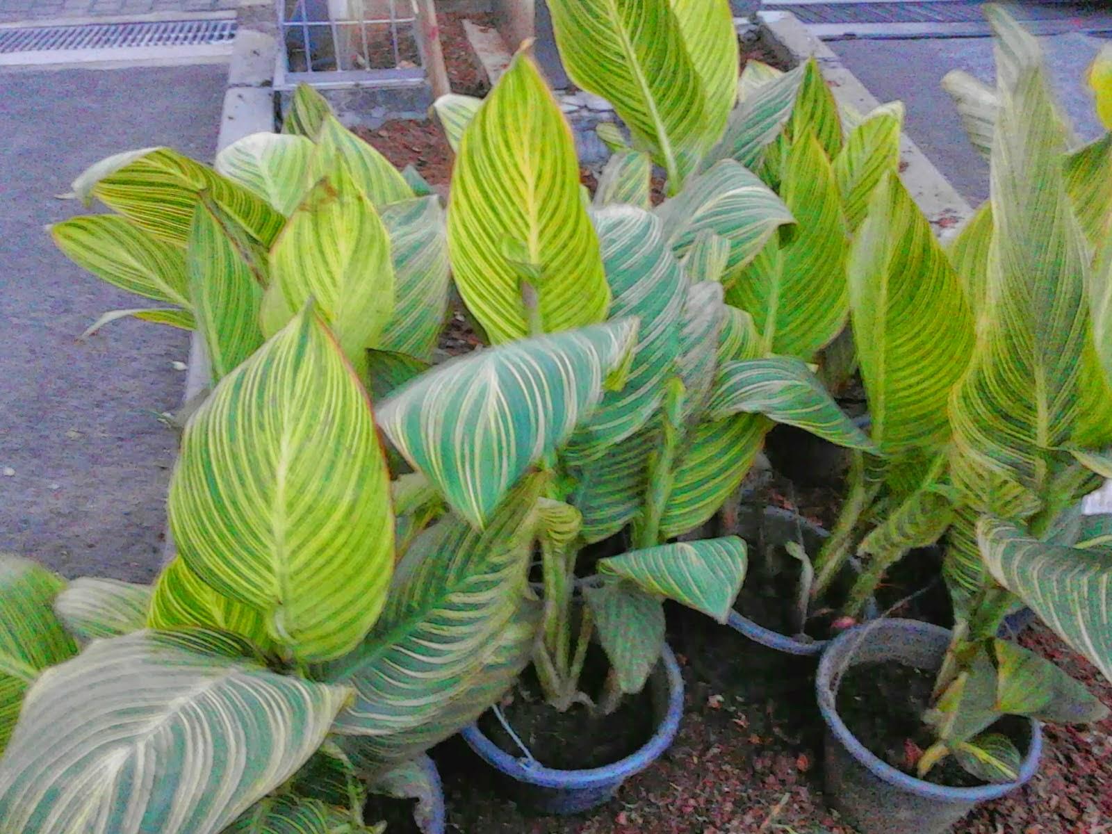 Jual pohon kana varigata | tanaman hias | jasa tukang taman