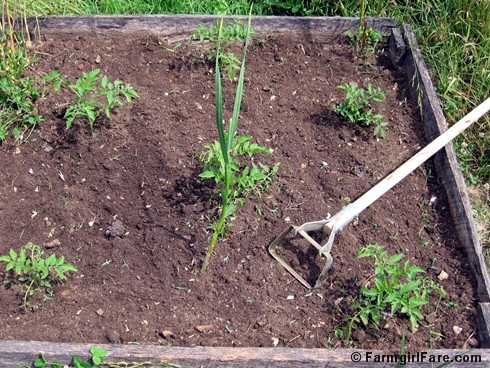 In My Kitchen Garden How To Use a Scuffle Hoe to Weed the