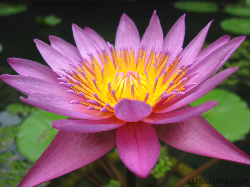 Lotus Flower Wallpaper A2z Wallpaper