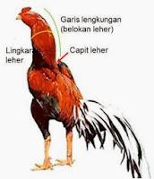 Teknik Melatih Otot Leher Ayam Bangkok