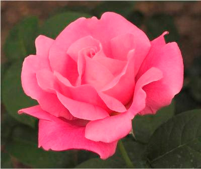 Perfume Delight rose