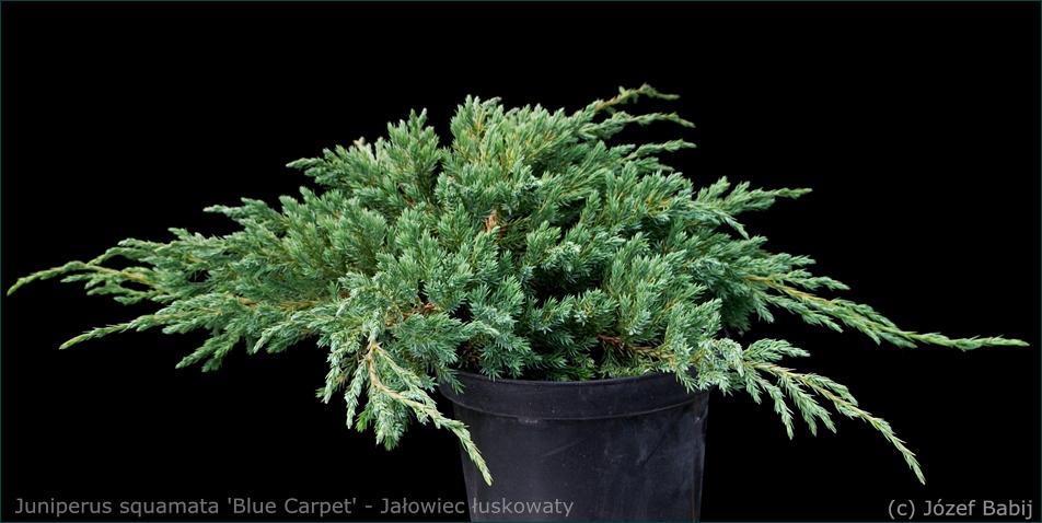 Juniperus squamata 'Blue Carpet' - Jałowiec łuskowaty 'Blue Carpet' pokrój
