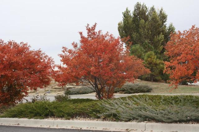 Autumn Billiance Serviceberry5