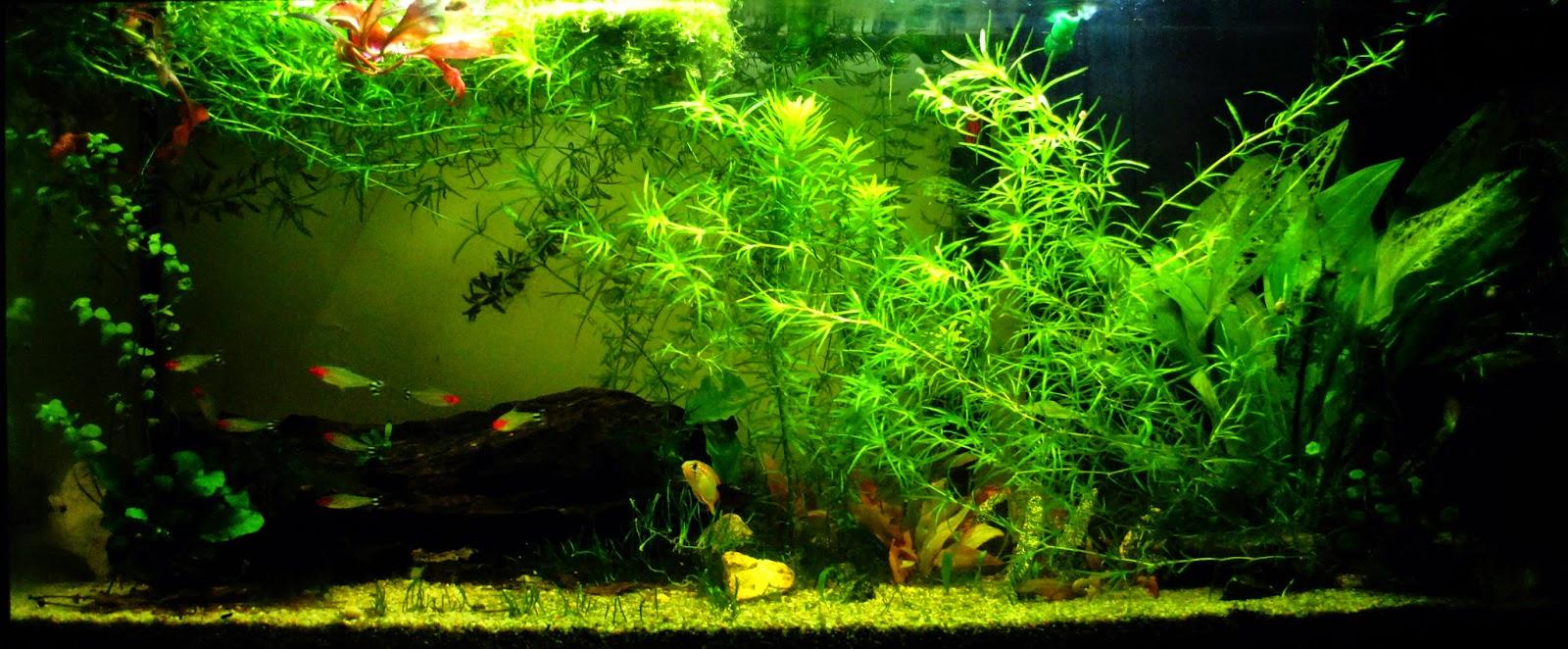 Aquariums poissons et plantes d 39 eau douce entretiens des for Poisson et aquarium