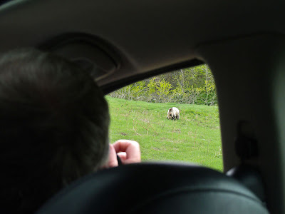grizzly bear from car window