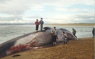 Biggest whale in the world caught