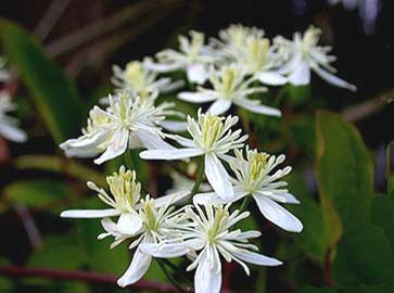 Sweet Autumn Clematis3