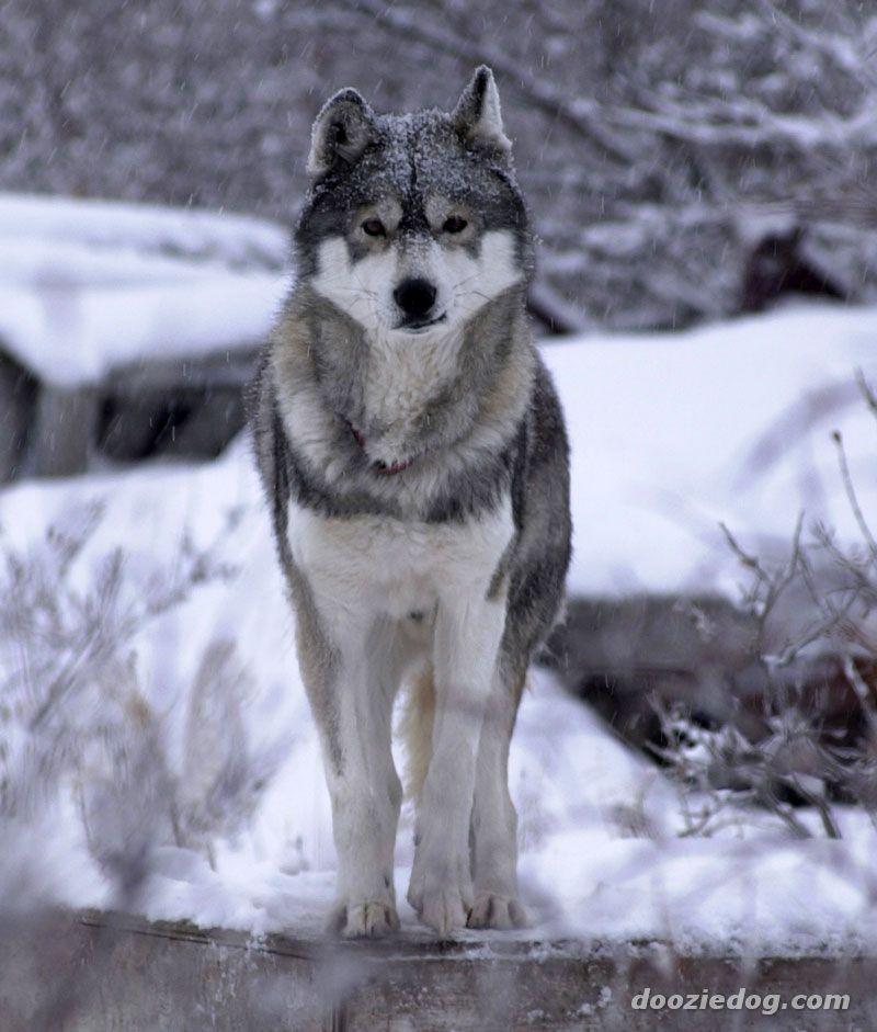 Gary akshay singh siberian husky - Pictures of siberian huskies ...