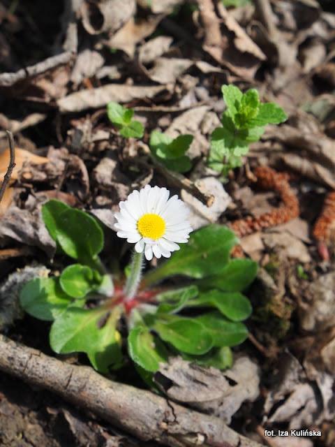stokrotka , orawa , wiosna , kwiaty