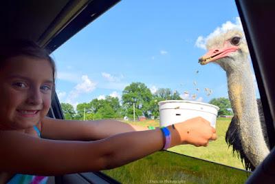 Tennessee Safari, Safari, Ostrich, Summer, Fun, Vacation, Travel