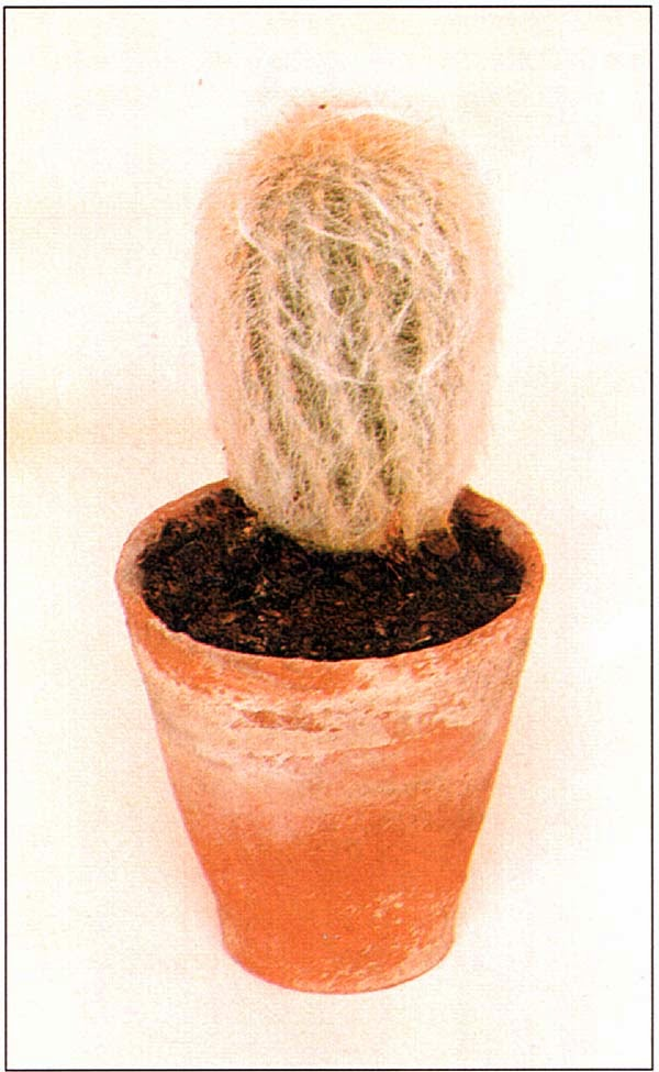 Цефалоцереус старческий, «Голова старика»