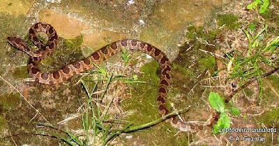 serpientes argentinas Ojos de gato Leptodeira annulata