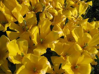 Yellow tulips from Geneva
