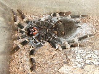 Mexican Redknee Molting