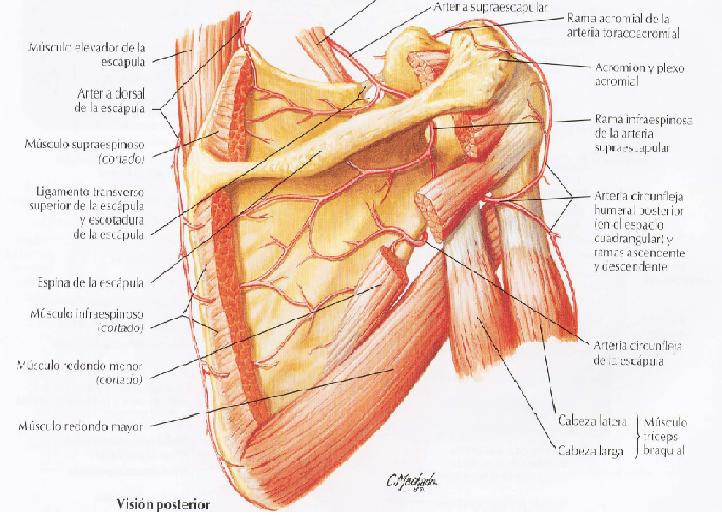 Articulacion y músculos del hombro