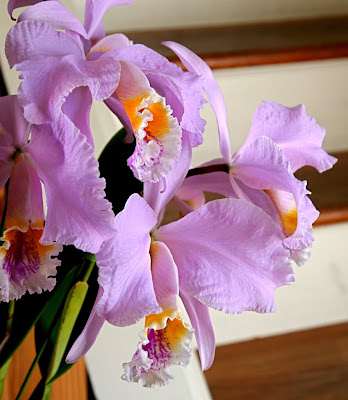 Cattleya Mossiae Orchids Flower