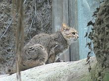 Chinese Mountain Cat, as desert cat