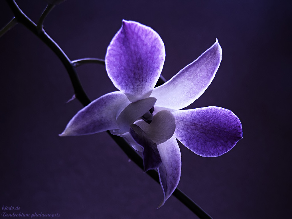 orchid wallpapers backgrounds images - photo #20