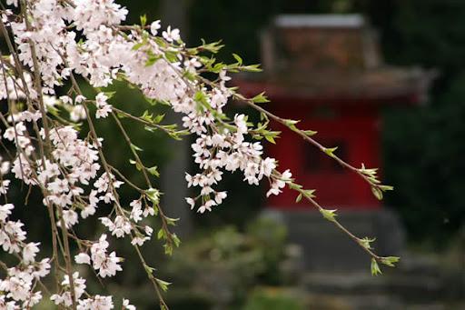 枝垂桜と祠