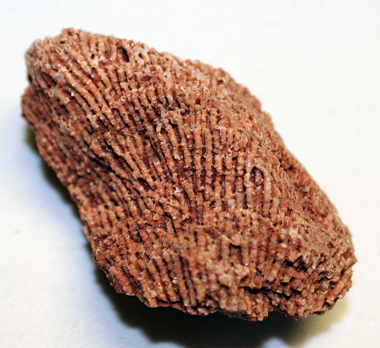 Louisville Fossils And Beyond: Syringopora Hisingeri Coral