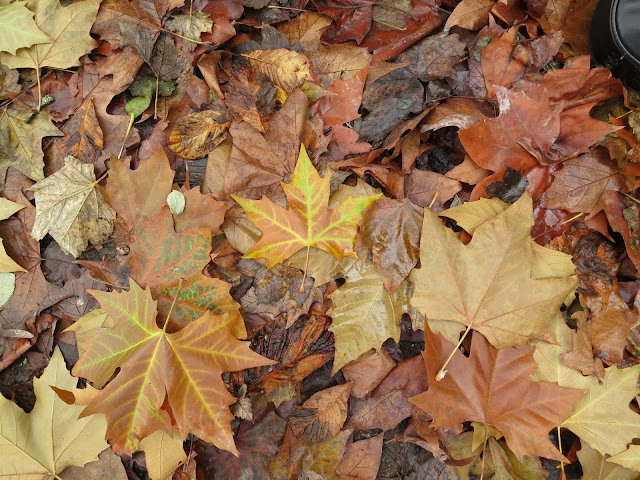Fallen plane leaves mixed with sycamore and beech - autumn