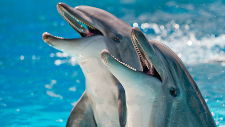 White Wolf : Bottlenose dolphins may call each other by name - photo#25
