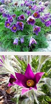 pasqueflower dangerous herbs